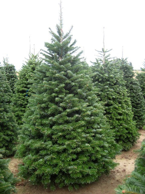 Norway Spruce Christmas Tree
