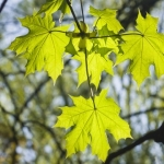 norway maple trees for sale