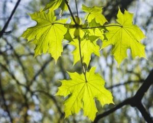 56284409 - leaves of norway maple tree in morning sunlight, selective focus, shallow dof