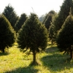 fraser fir trees for sale