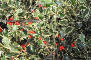 55115578 - holly (ilex aquifolium) aka english holly or european holly or christmas holly plant