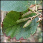 common alder trees for sale