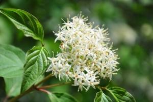 14037568 - common dogwood (cornus sanguinea)