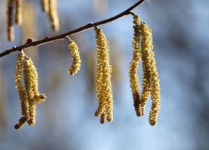 37720935 - close up of hazel tree (lat. corylus avellana) in early spring
