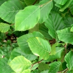common beech trees for sale