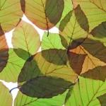 fagus-sylvatica-purpurea