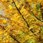 hornbeam trees for sale