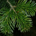 nordman fir trees for sale