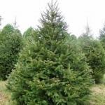 norway-spruce-xmas