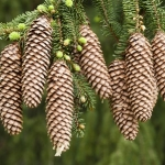 norway spruce trees for sale