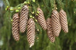 58854477 - norway spruce tree with green buds and cones, picea abies