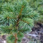 sitka spruce trees for sale
