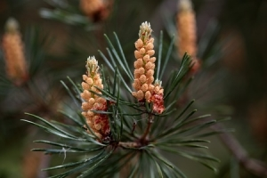 corsican pine trees for sale