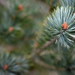 Scots pine Trees for Sale