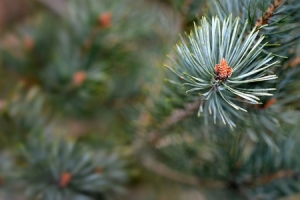 57098155 - scots pine, pinus sylvestris, buds and needles