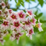 wild cherry trees for sale