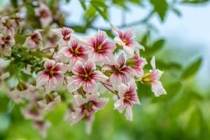 27749696 - close up of blooming wild cherry (prunus avium) in spring