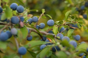 48064321 - prunus spinosa bush branch with sloe fruits or late summer