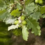 sessile oak trees for sale