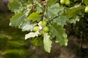 12474697 - sessile oak (quercus petraea). it is a species of oak native to most of europe