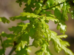 61723840 - leaves from a english oak