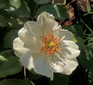 rosa canina - dog rose