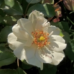 Wild Rose For Sale