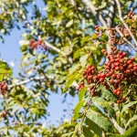 sorbus aucuparia trees
