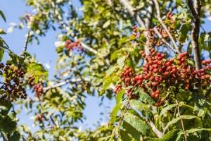 61466340 - sprig of ripe red berries sorbus aucuparia.