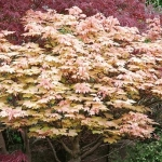 sycamore trees for sale