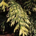 western red cedar trees for sale