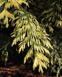 55539093 - the beautiful variegated foliage of thuja plicata 'zebrina' also known as western red cedar.
