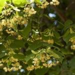 large leaved lime trees