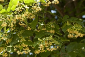 50495340 - blooming linden tree (tilia platyphyllos) on background sky