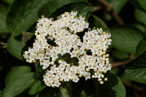 63374596 - wayfaring tree (viburnum lantana) - bloom