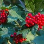 guelder rose trees for sale